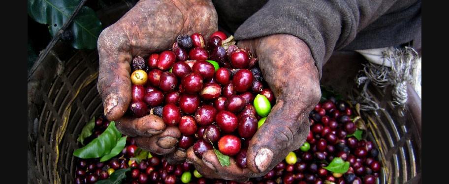 Beans In Hand  Kuban®