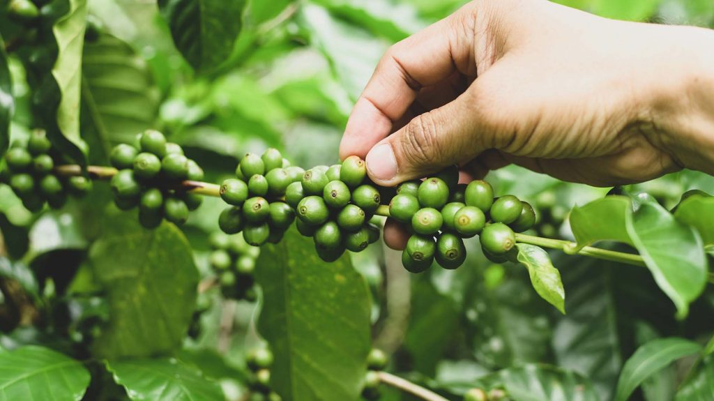 A Coffee Plantation Farmer Is Caring For The Coffe Ehc8Qad 1 Kuban®