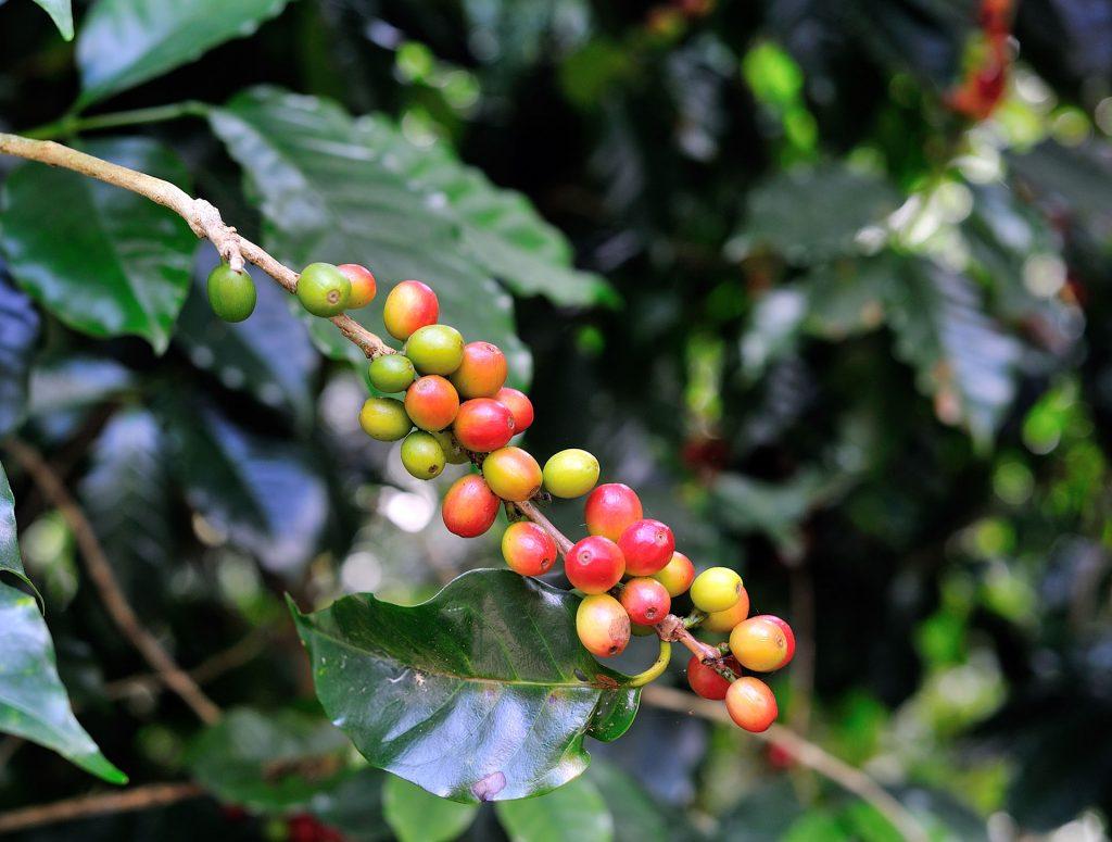 Coffee Beans On Coffee Tree Xkh2Rpg Kuban®