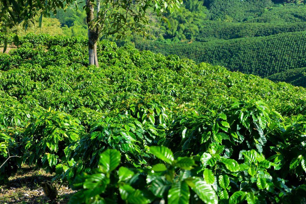 Rows Of Coffee Plants Pp6Sf3W Kuban®